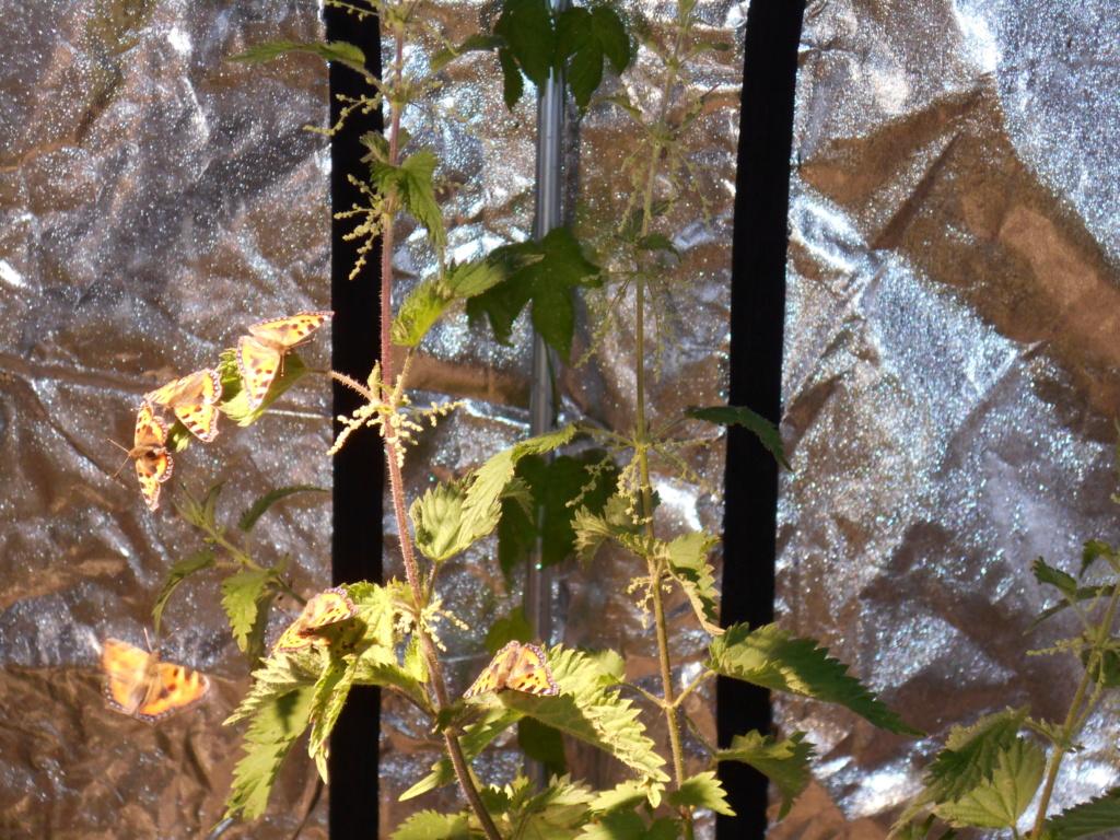 Installation élevage permanent rhopalocères locaux - Page 3 Dscn2424