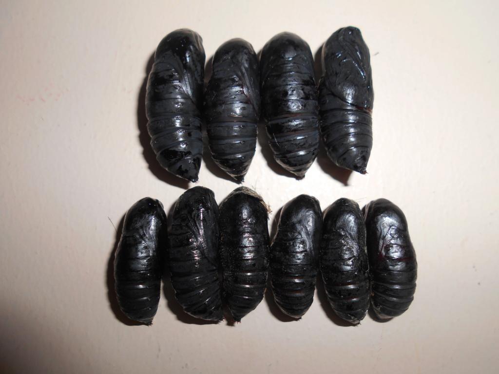 Ecaille martre et sphinx demi-paon (Arctia caja et Smerinthus ocellatus) Dscn2427