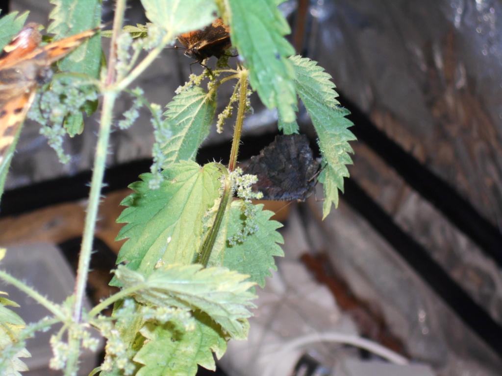 Installation élevage permanent rhopalocères locaux - Page 3 Dscn2512