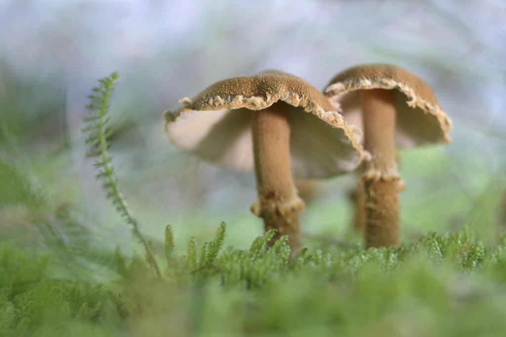 Cystoderma Amianthinum al sol..... P5000218