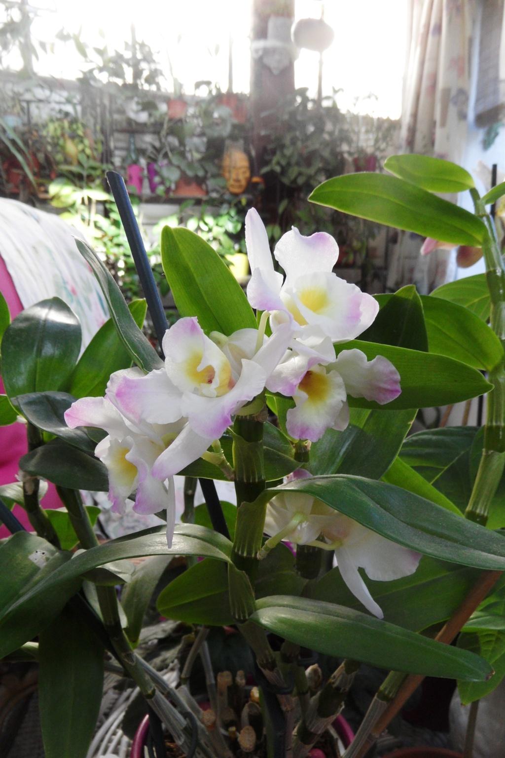 Dendrobium nobile 00115