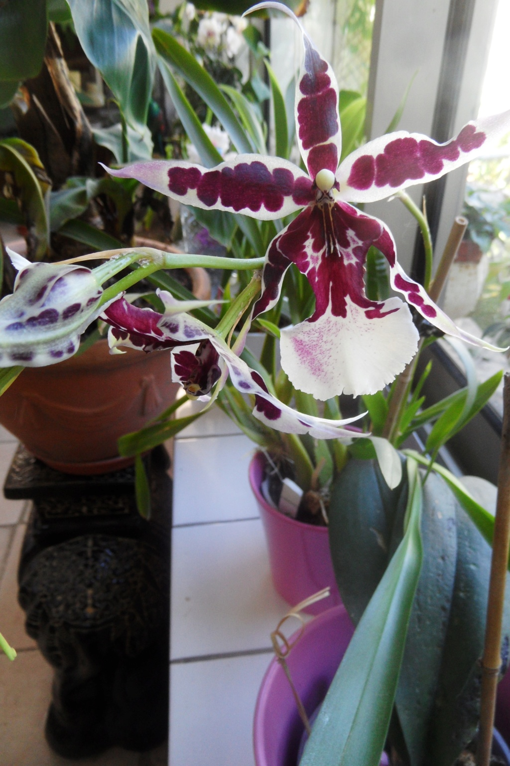 Orchidée de chez Hugo - Page 2 00158