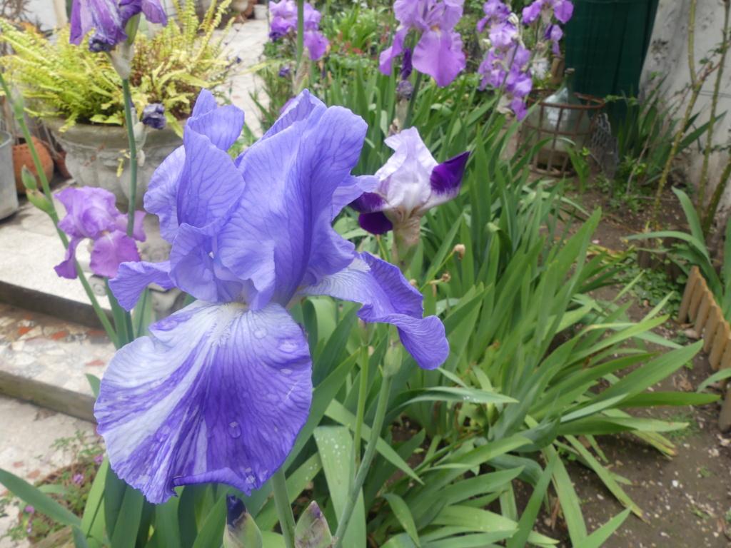 Floraison d'iris de 2017 ....... à 2021 - Page 21 00197