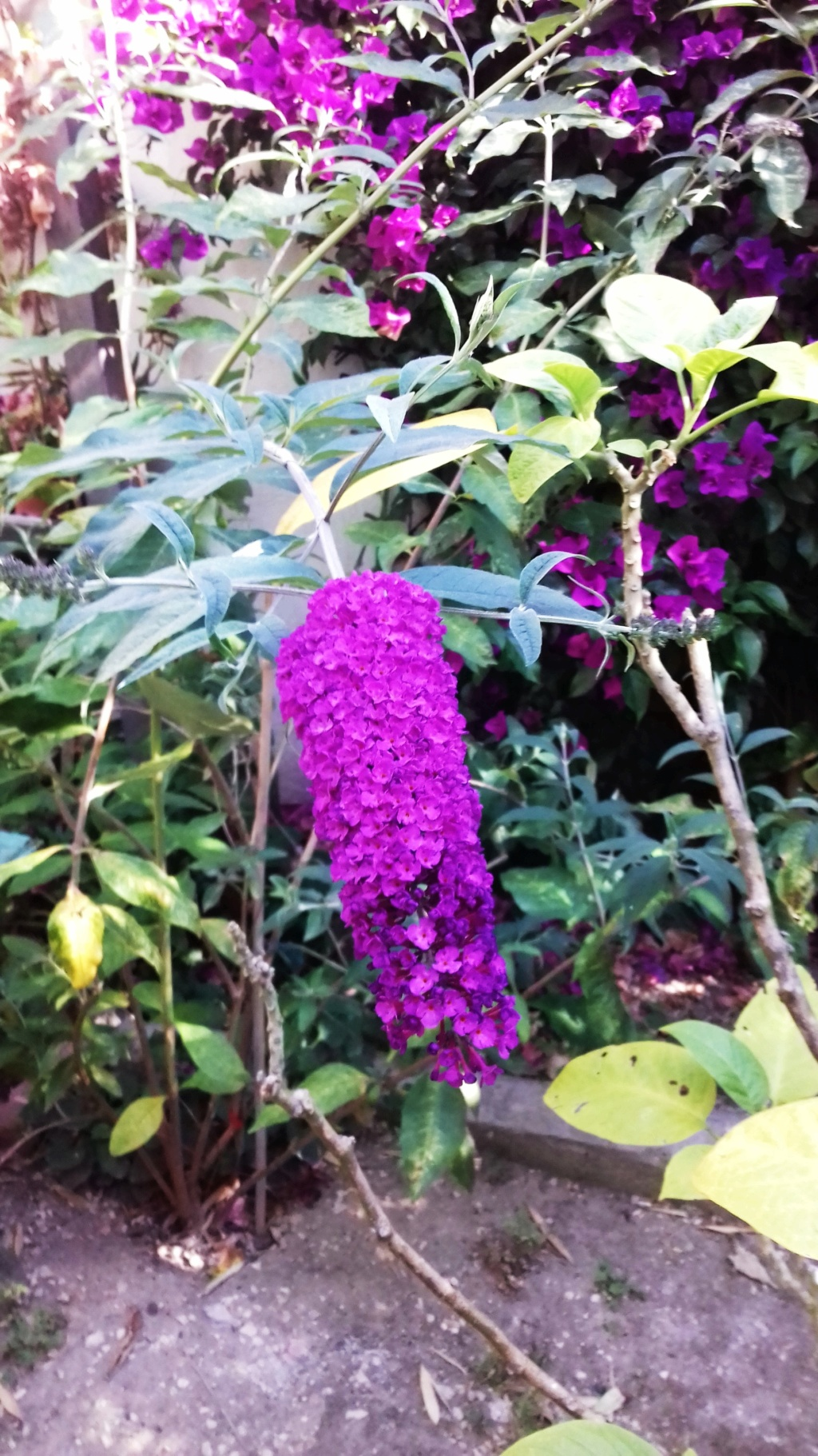 Buddleja alternifolia !!! 00257