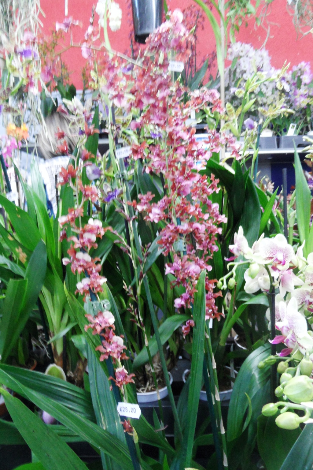 Salon orchidées Bouc-Bel-Air 00518