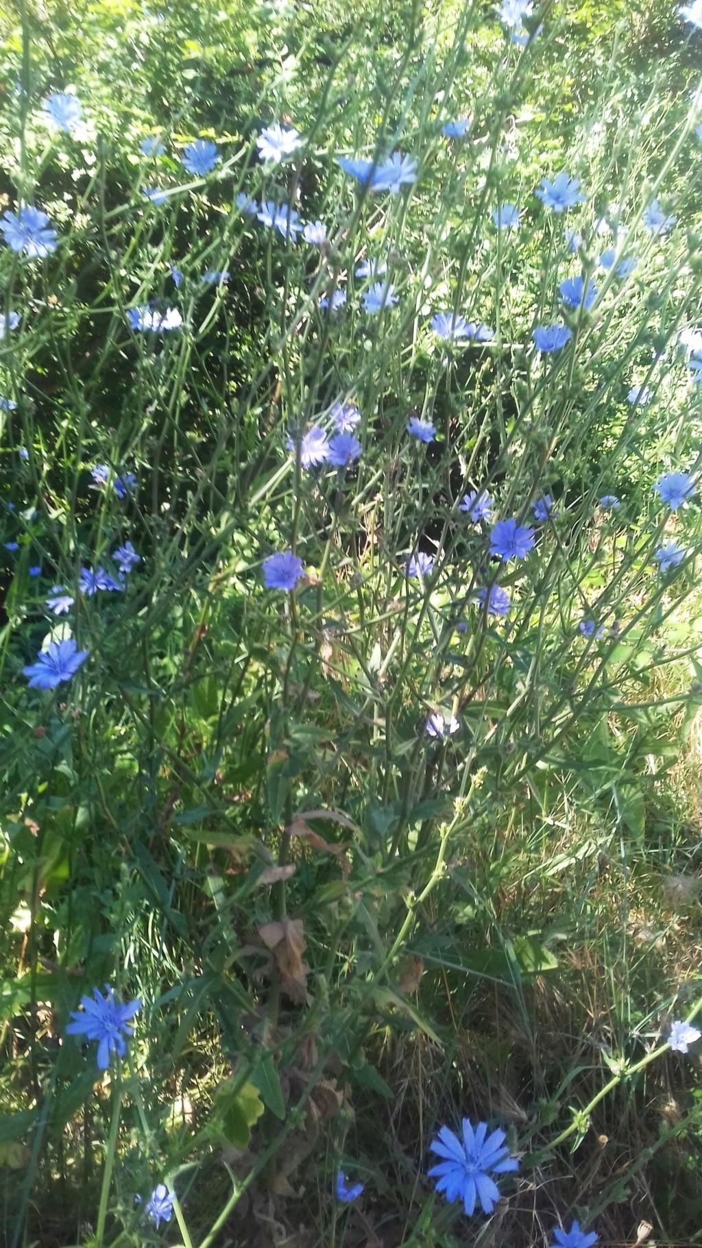 les plantes sauvages de nos campagnes - Page 15 00551