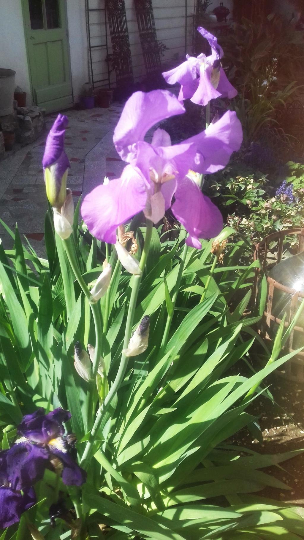 Iris  00580