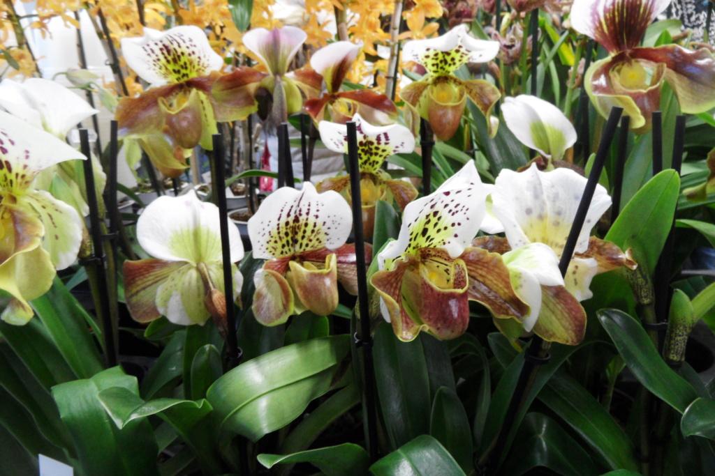 Salon orchidées Bouc-Bel-Air 00615