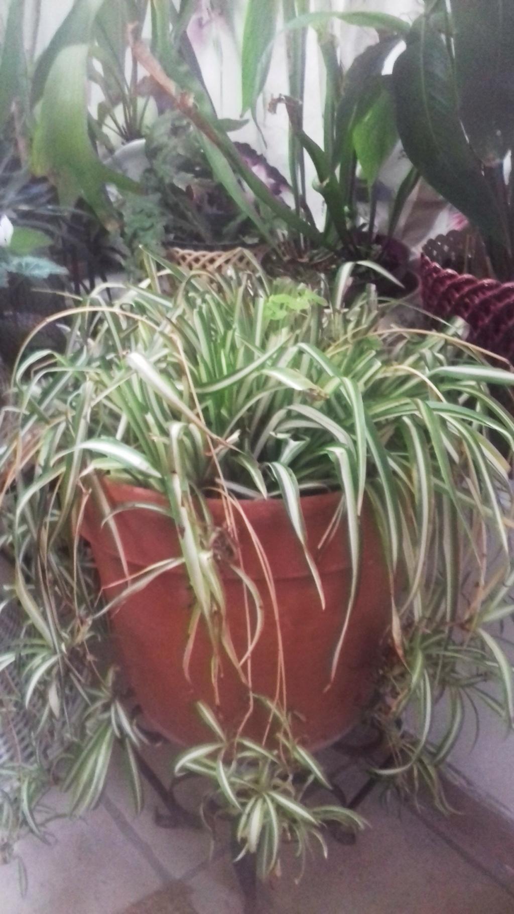 Chlorophytum ou plante araignée  - Page 2 00660