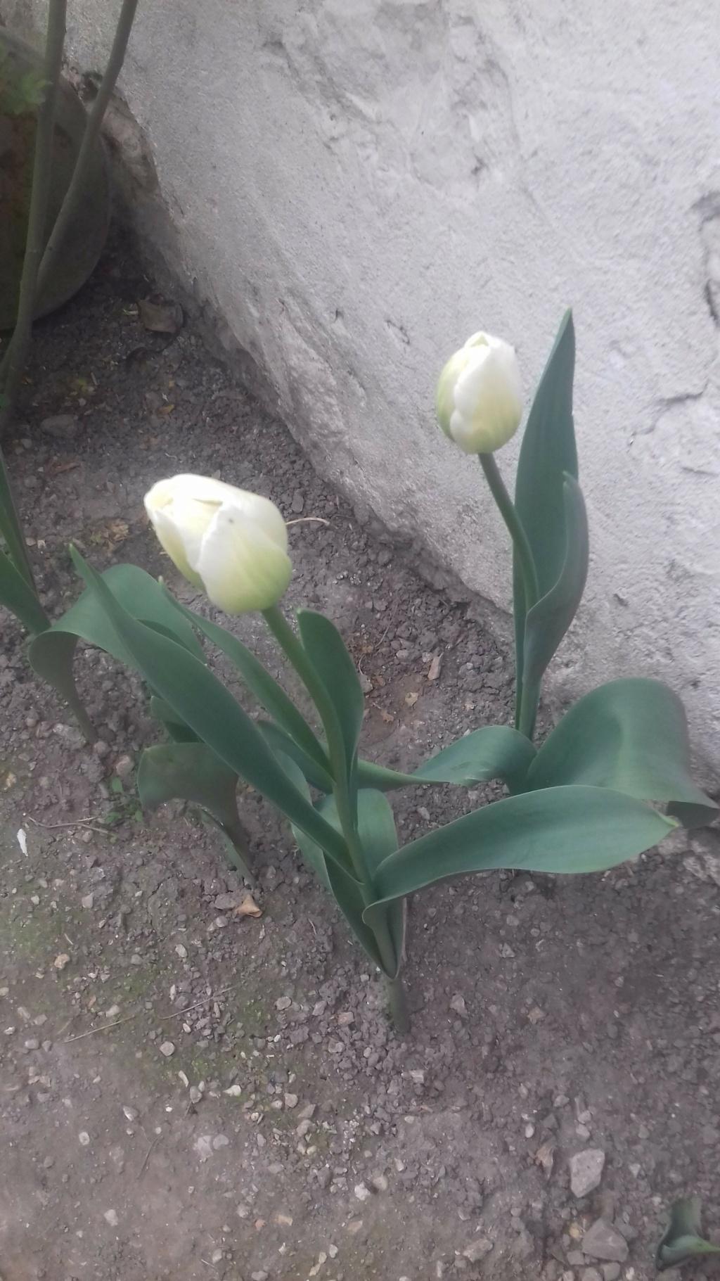 Tulipes. - Page 4 00676