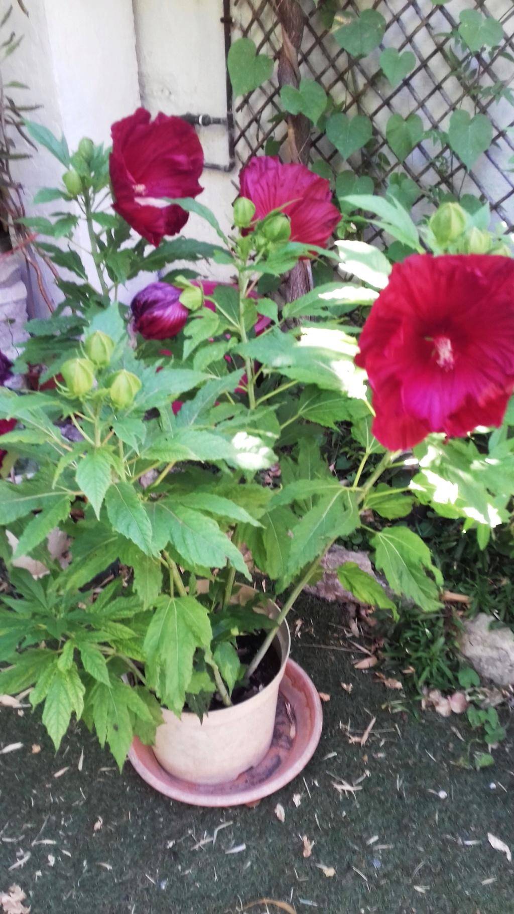 Hibiscus des Marais ou Moscheutos *** - Page 3 00749
