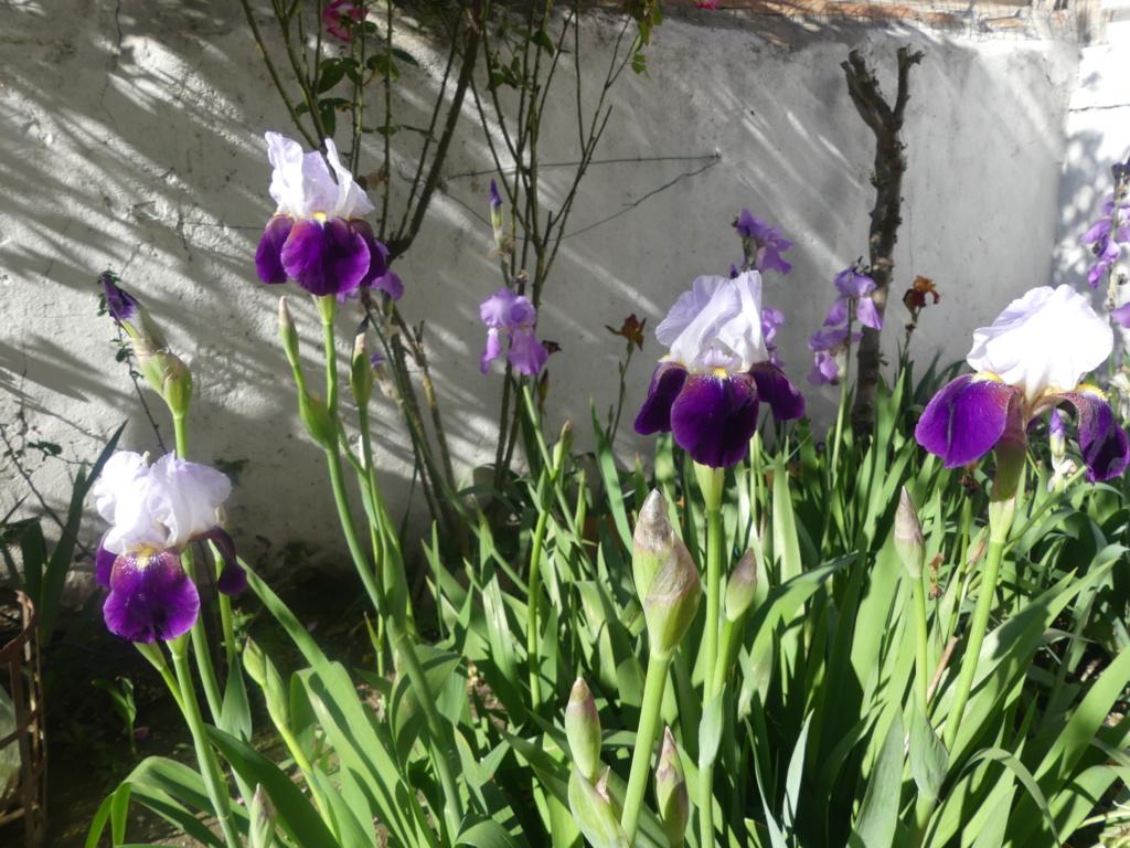 Floraison d'iris de 2017 ....... à 2021 - Page 21 00777