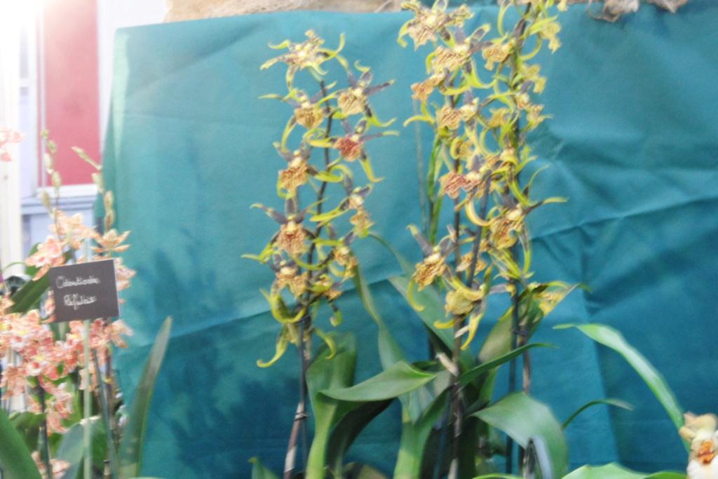 Salon orchidées Bouc-Bel-Air 00813