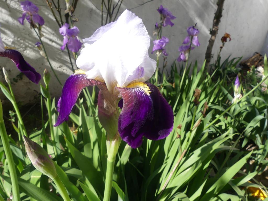 Floraison d'iris de 2017 ....... à 2021 - Page 21 00868