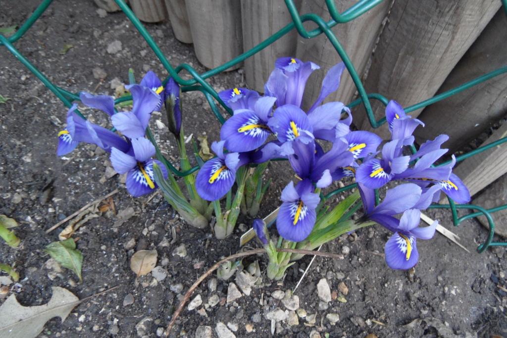 Iris reticulata - Page 8 01016