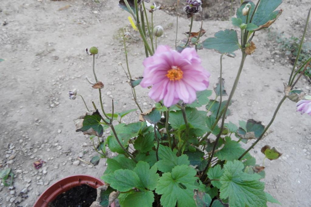 anemones du japon  - Page 5 01110