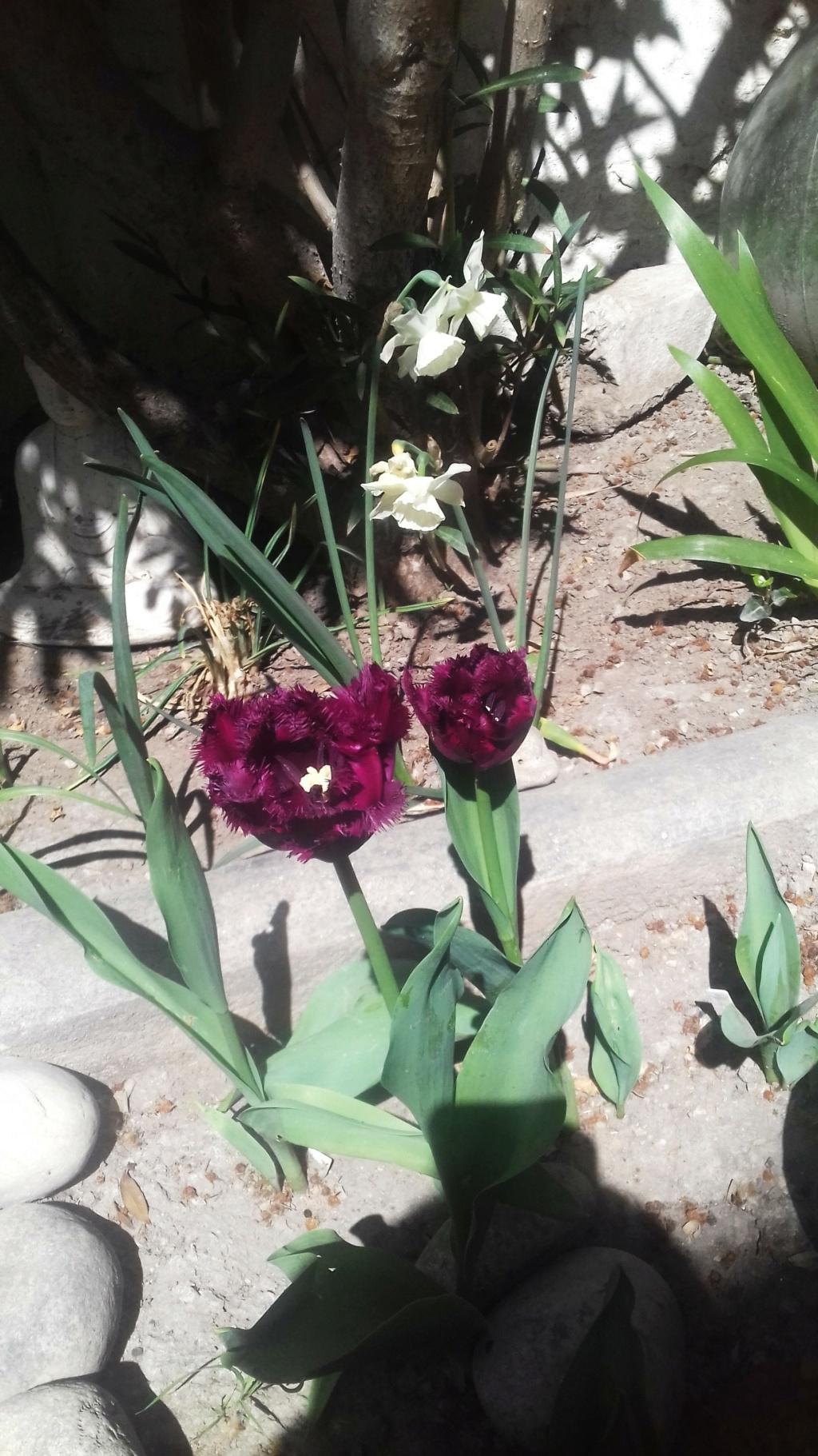 Tulipes. - Page 4 01255