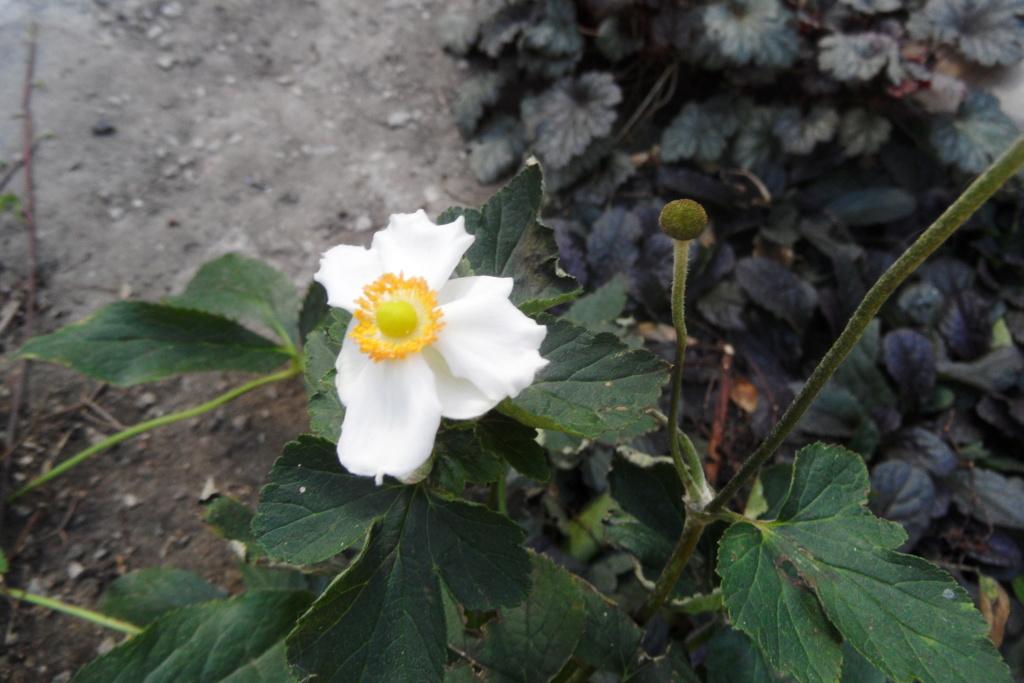 anemones du japon  - Page 5 01310
