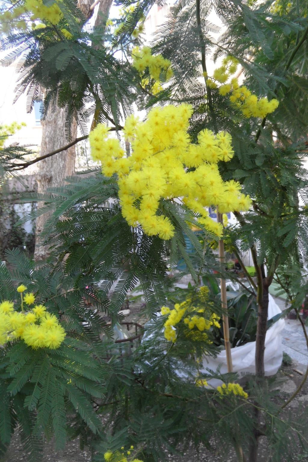 ça commence a fleurir...(Mimosa, Acacia dealbata) - Page 5 01317