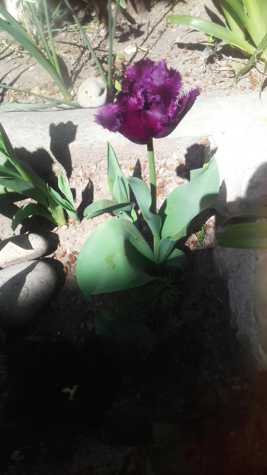 Tulipes. - Page 4 01360