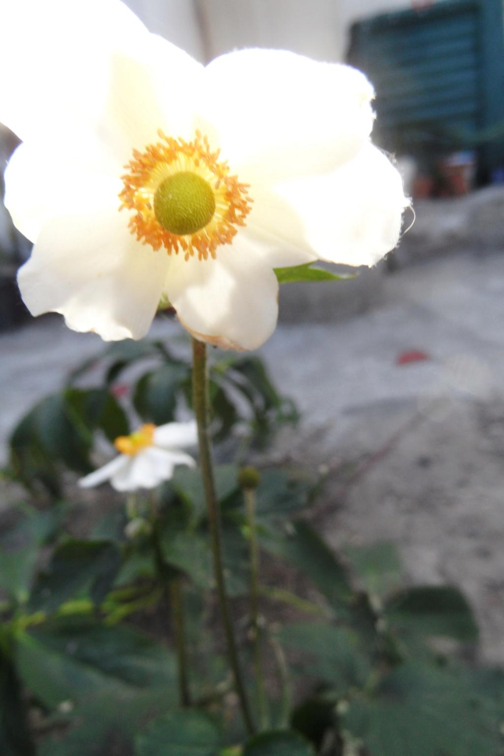 anemones du japon  - Page 5 01410