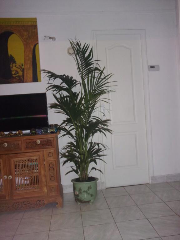 Palmier Kentia d'intérieur (Howea forsteriana) 01620