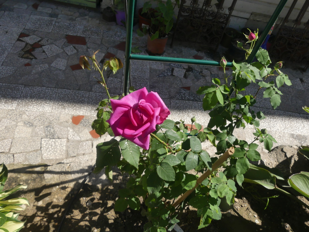 Rosa 'Madame Isaac Péreire' !!! - Page 3 01945