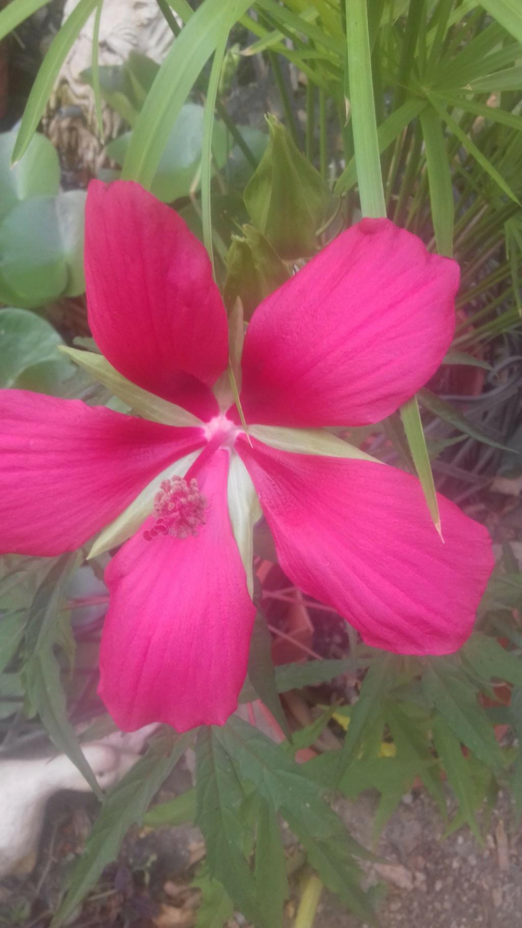 Une vivace.........Hibiscus coccineus !!! 02526