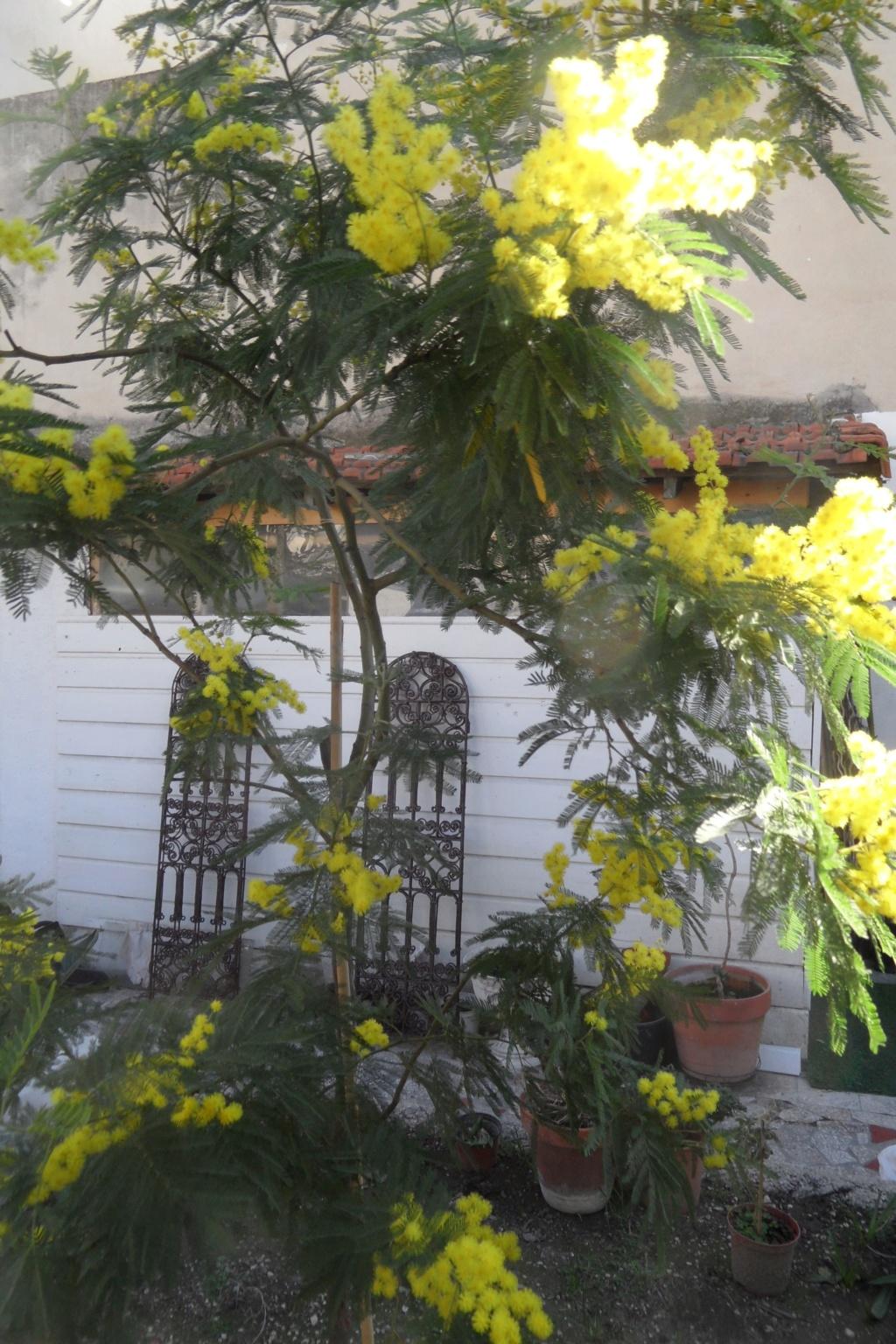 ça commence a fleurir...(Mimosa, Acacia dealbata) - Page 5 03012