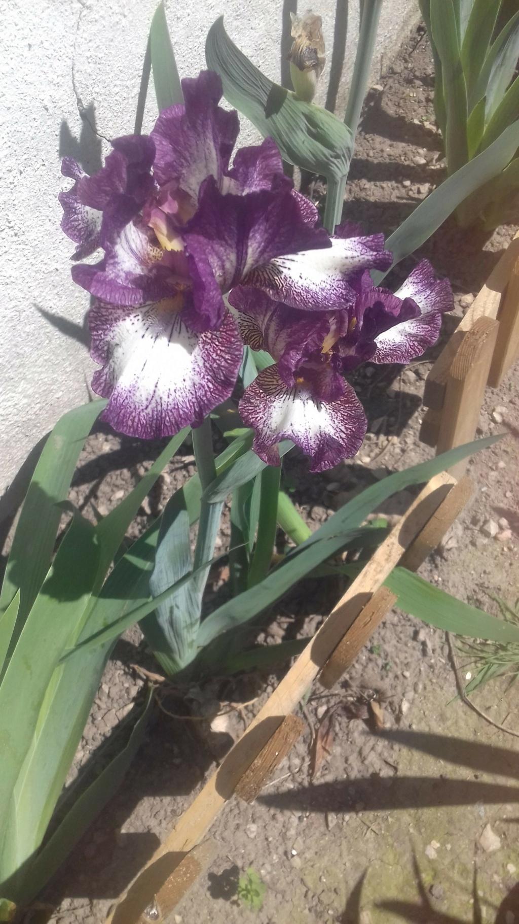 Floraison d'iris de 2017 ....... à 2021 - Page 20 04213
