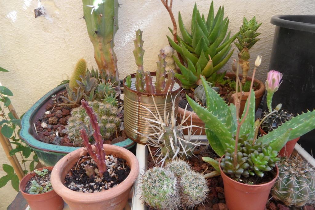 Mes cactus Sam_0464