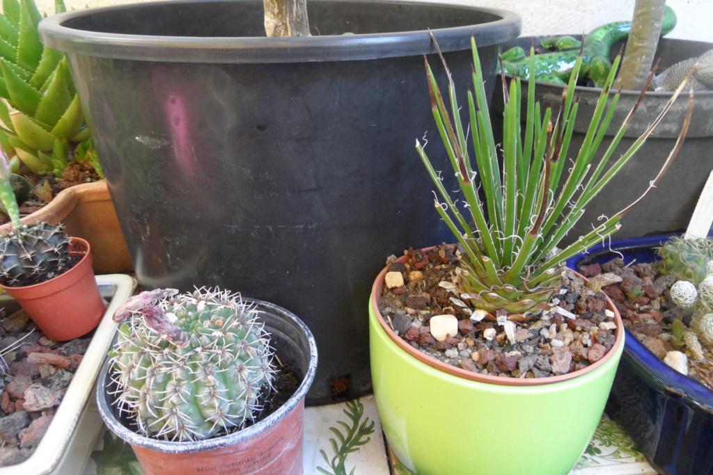 Mes cactus Sam_0465
