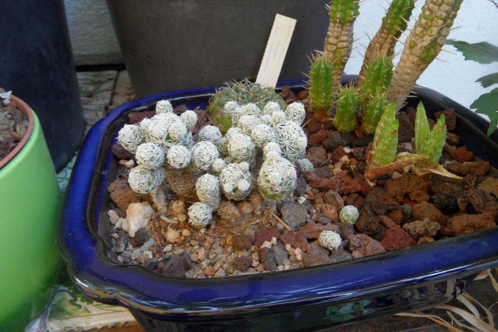 Mes cactus Sam_0466