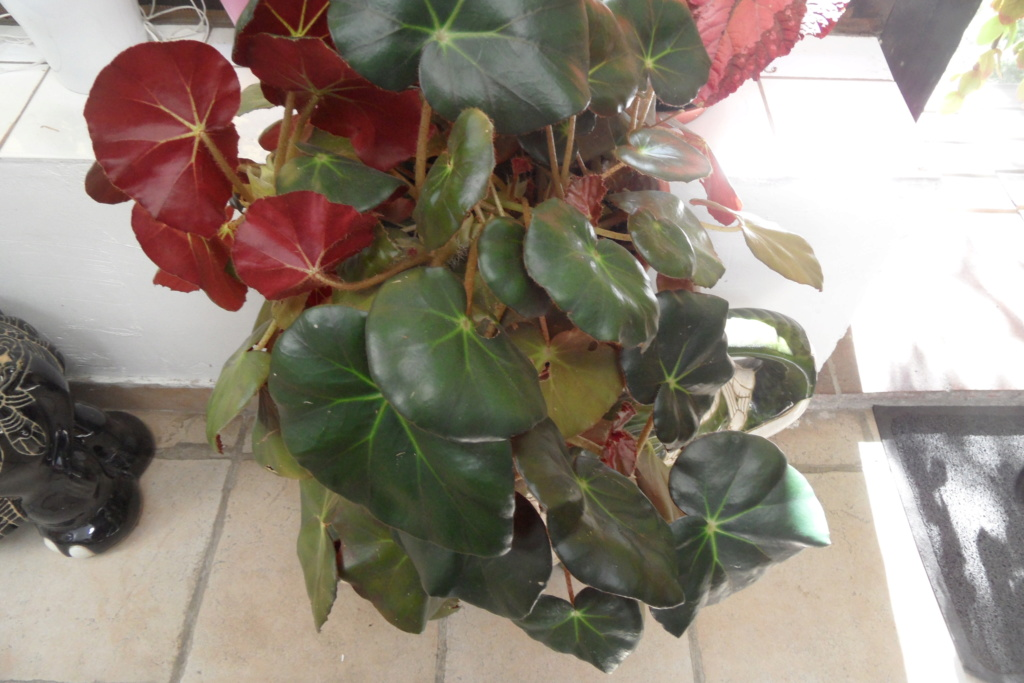 Mes plantes dans la véranda Sam_0467