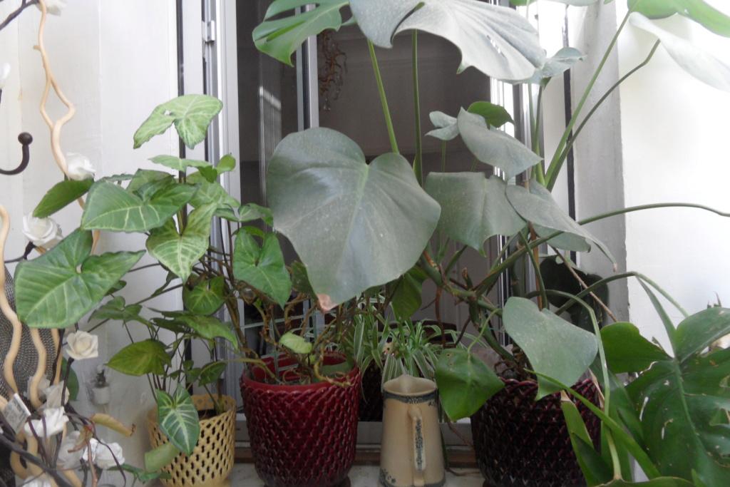 Mes plantes dans la véranda Sam_0522