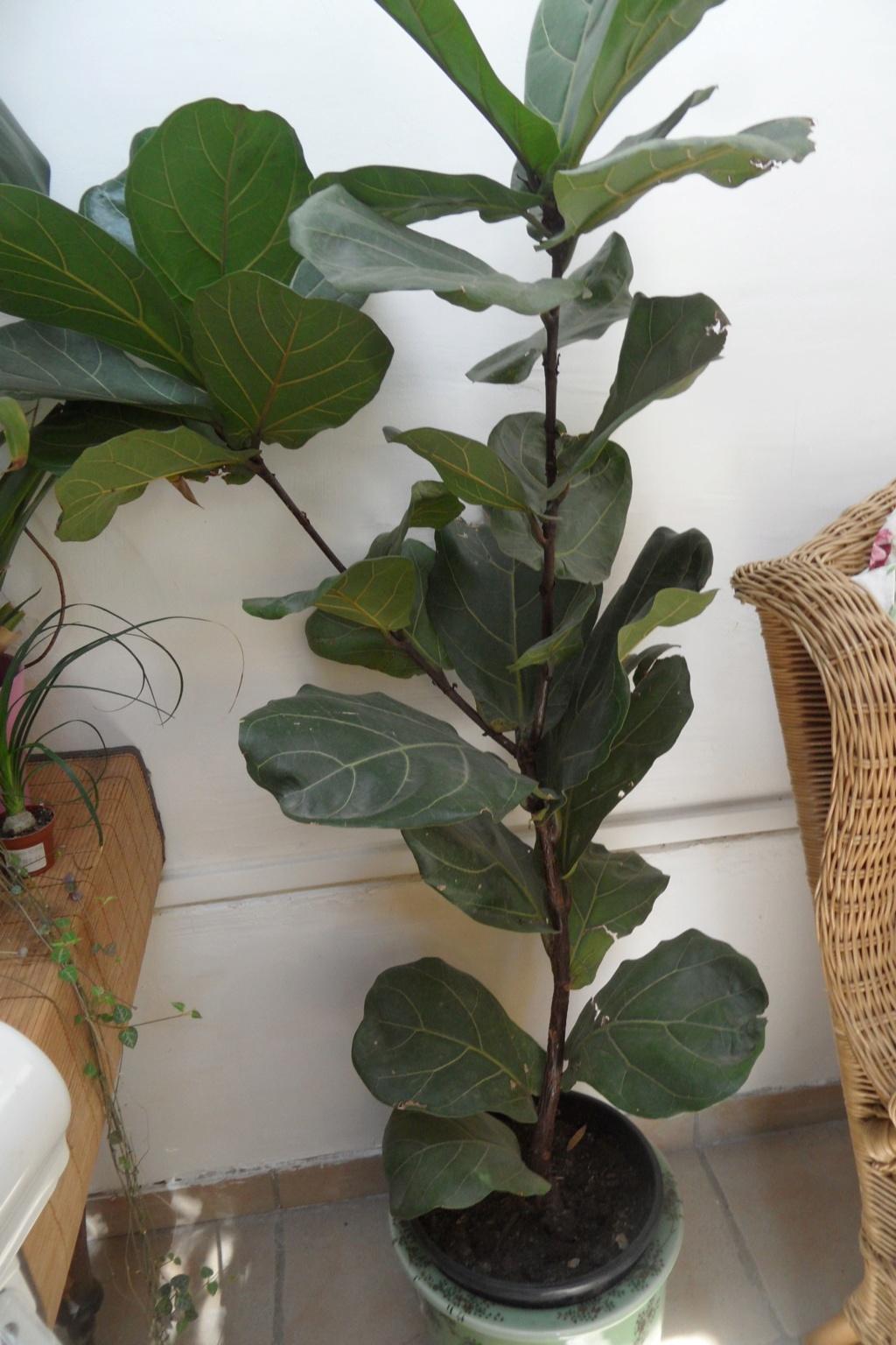 Mes plantes dans la véranda Sam_0523