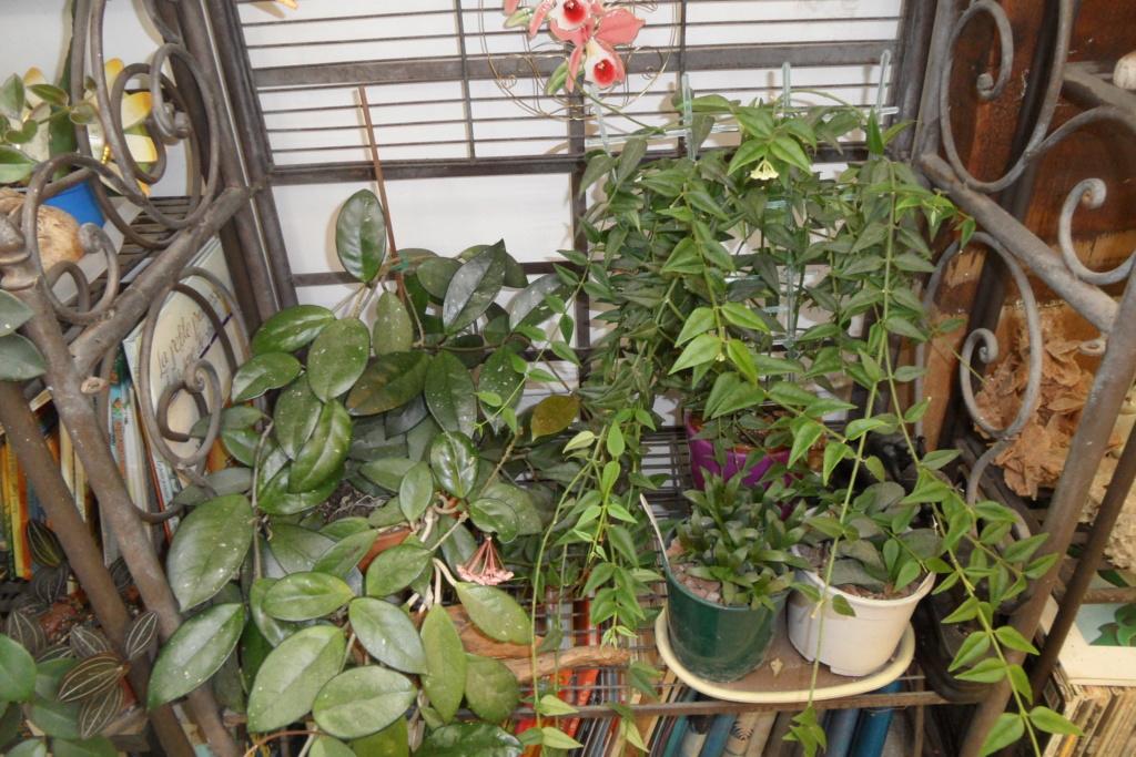 Mes plantes dans la véranda Sam_0526