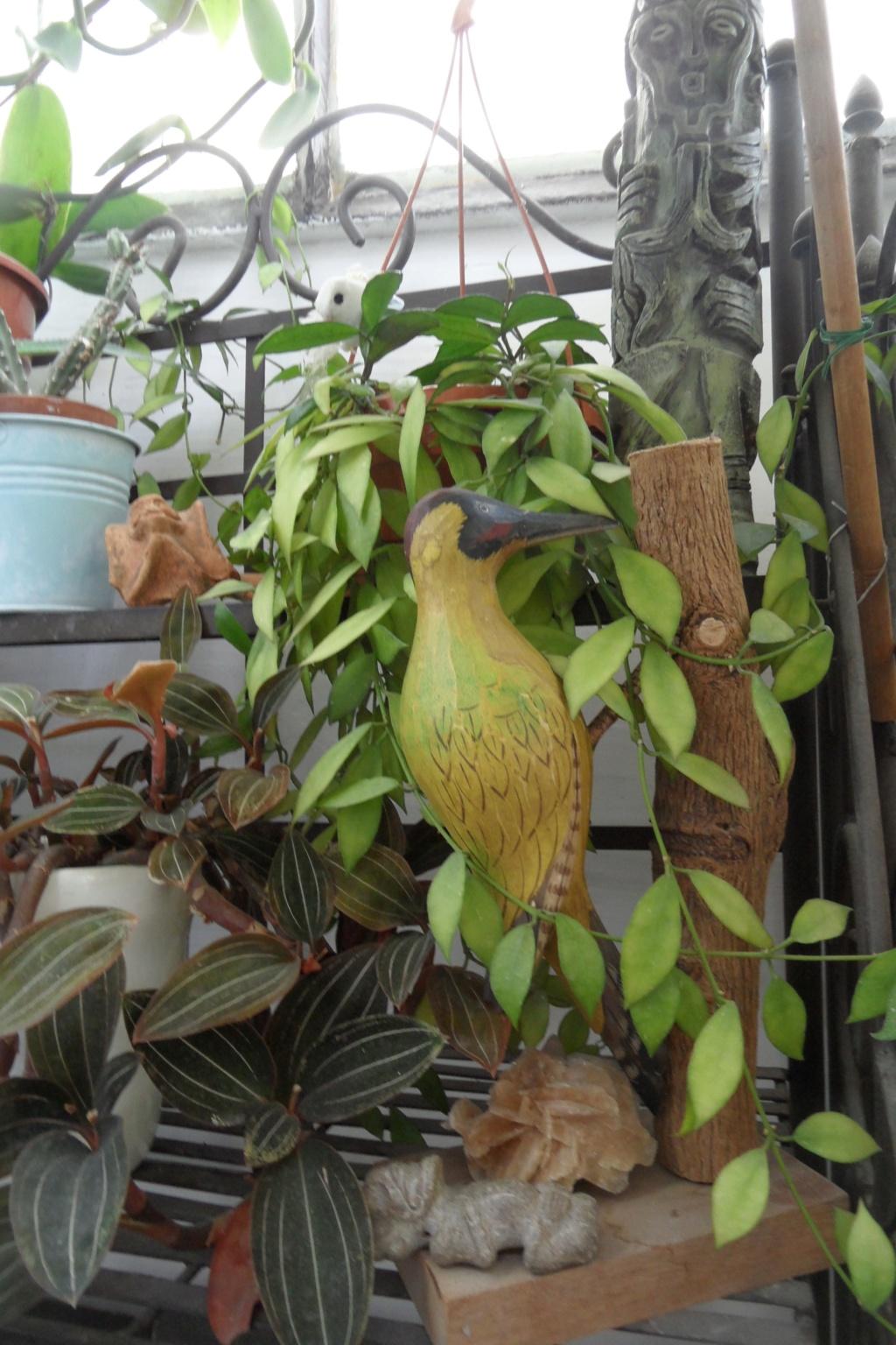 Mes plantes dans la véranda Sam_0527