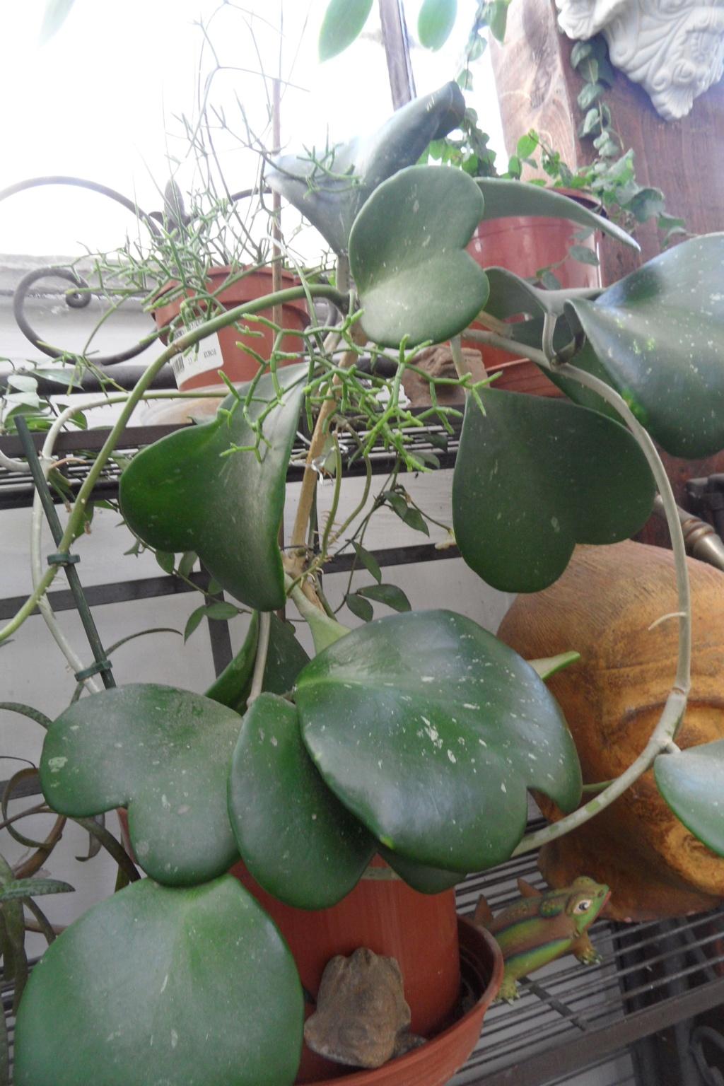 Mes plantes dans la véranda Sam_0528