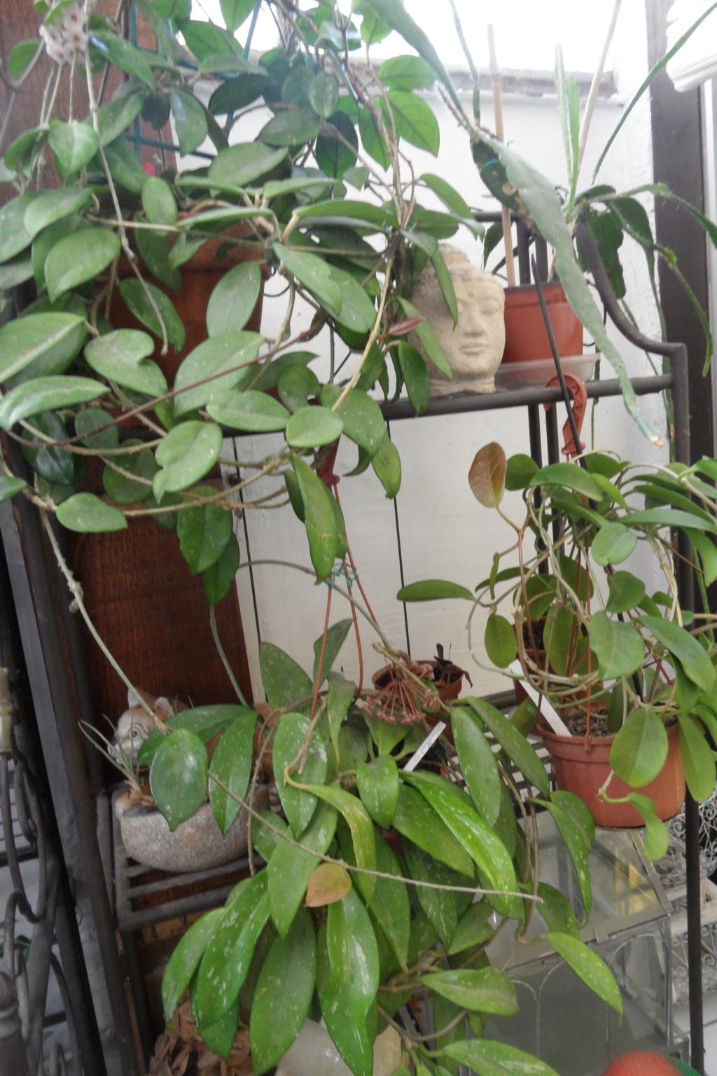 Mes plantes dans la véranda Sam_0529
