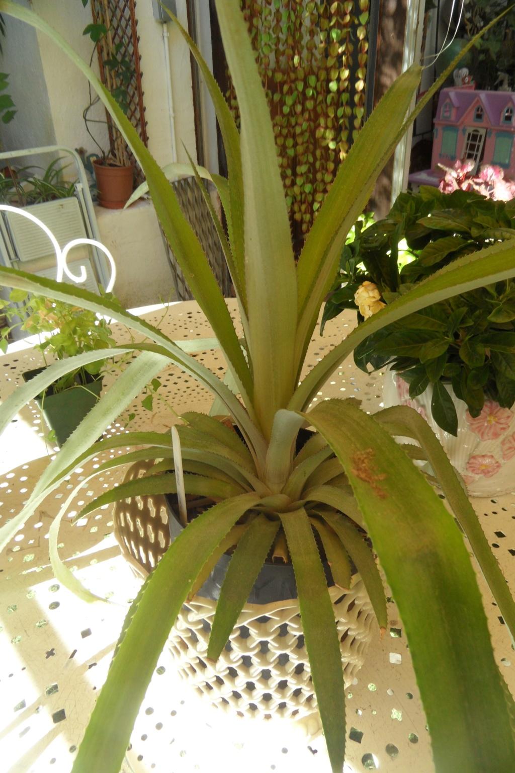 Ananas Sam_0556