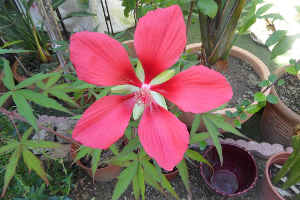 Hibiscus coccineus - Page 23 Sam_0610
