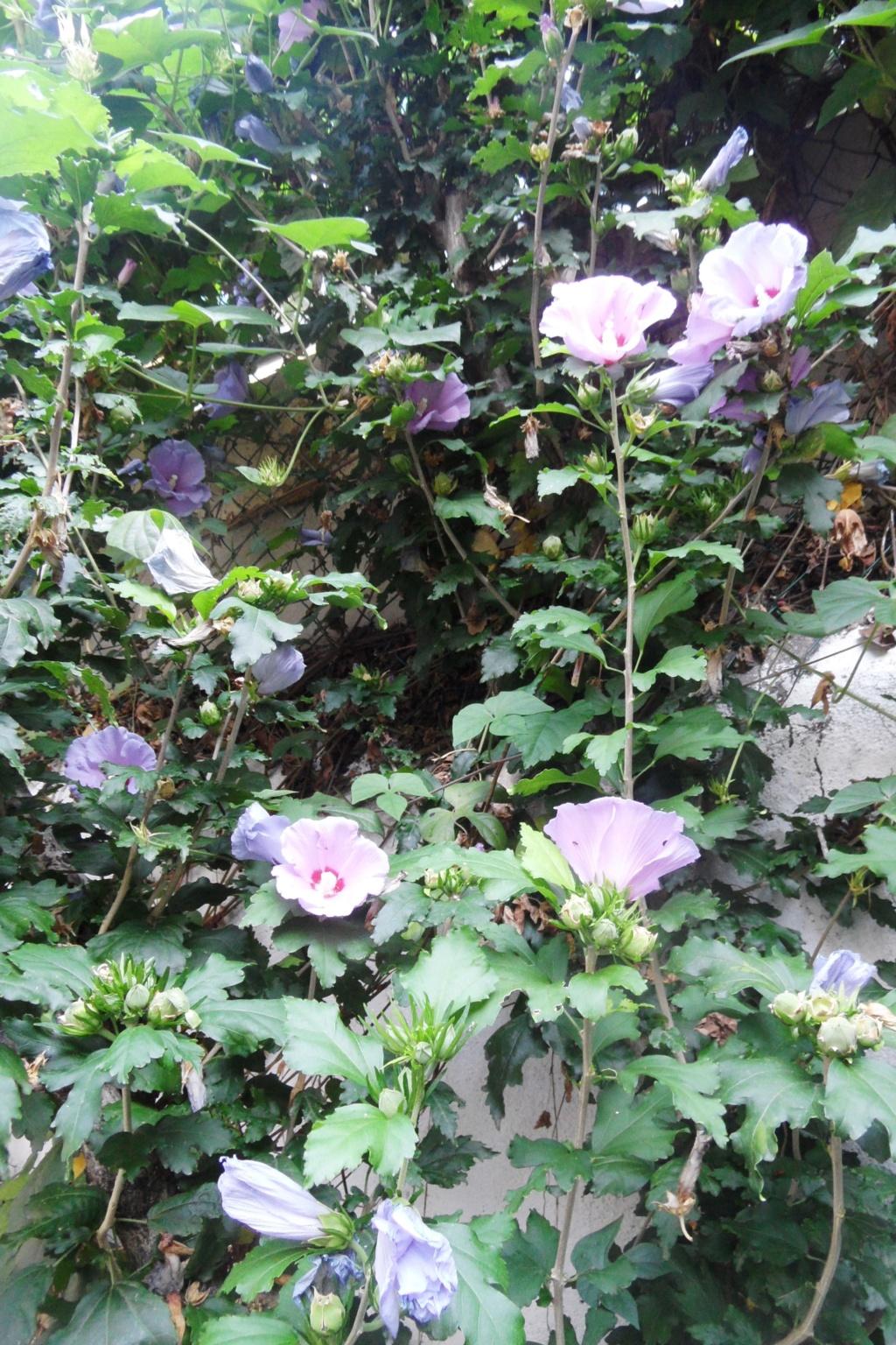 Hibiscus syriacus ou althéa  - Page 4 Sam_0611