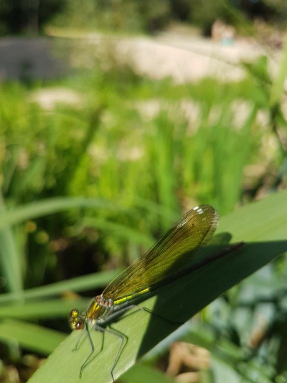 [Calopteyx splendens] Calopteryx 20180816