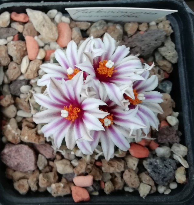 Cactus - floraisons 2019 Img_2047