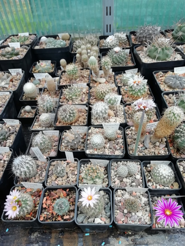 Cactus - floraisons 2019 Img_2058