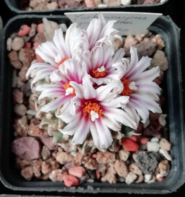 Cactus - floraisons 2019 Img_2064