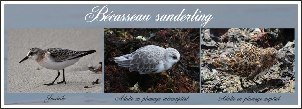 Bécasseau sanderling 028