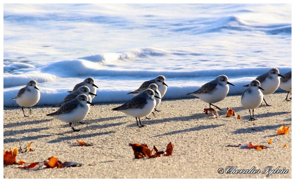 Bécasseau sanderling 1019
