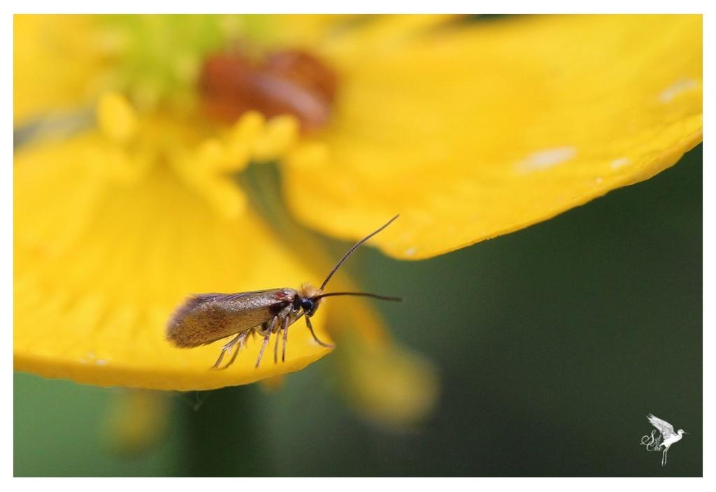 Micropterix calthella 1043